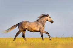 Grey horse run Royalty Free Stock Images