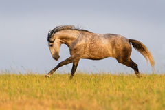 Grey horse run Stock Image