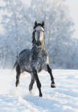 Grey horse run gallop in winter. Dapple-grey horse run gallop in winter Royalty Free Stock Photos