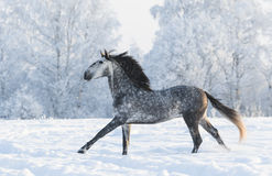 Grey horse run gallop in winter Royalty Free Stock Photo