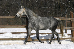 Grey horse running. Beautiful young horse gallopng in the corral at winter time Royalty Free Stock Photo