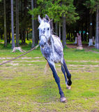 Grey horse running with lead Stock Image