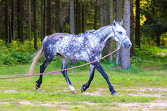 Grey horse running near forest with lead Stock Photo