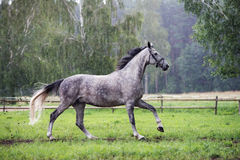 Grey horse running in the rain Stock Images