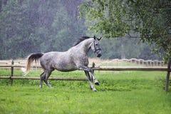 Grey horse running in summer rain royalty free stock image