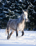 Grey horse runs free in winter Stock Images