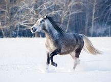 Grey horse runs free in winter stock photography