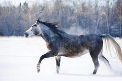 Grey horse runs free in winter royalty free stock photos