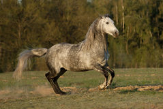 Grey horse runs gallop on meadow in summer time Royalty Free Stock Image