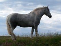 Grey Horse silhouetté dans le pâturage Photos stock