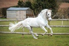 Grey Horse som cantering i fält arkivfoto