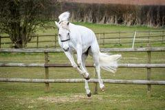 Grey Horse som sparkar bakut i fält Royaltyfria Foton