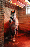 Grey horse in special solarium for horses during the procedure Royalty Free Stock Image