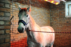 Grey horse in special solarium for horses during the procedure Stock Photo