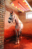 Grey horse in special solarium for horses during the procedure Stock Photography
