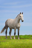 Grey horse stand Royalty Free Stock Images
