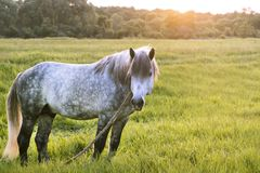Grey horse stands on the field, looks aside, the Royalty Free Stock Image