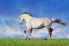 Grey horse trotting royalty free stock photography