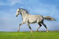 Grey horse trotting Stock Photos