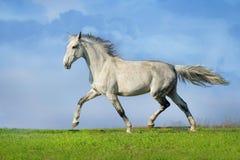 Grey horse trotting Stock Photos