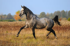 Grey horse Stock Images