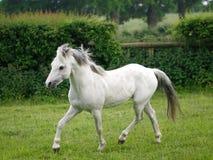 Grey Horse Trotting Free Images libres de droits