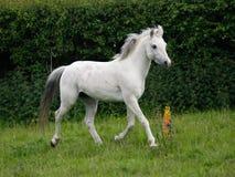 Grey Horse Trotting Free Image stock