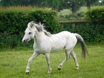 Grey Horse Trotting Free Royalty Free Stock Images