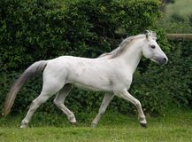Grey Horse Trotting Free Royalty Free Stock Image