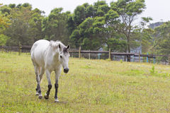 Grey horse walking Stock Photo