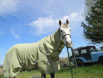 Grey horse wearing fly sheet Royalty Free Stock Photo