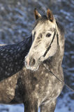 Grey horse in winter. With snow trees Royalty Free Stock Images