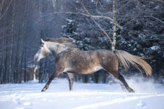 The grey horse in winter forest Stock Photo