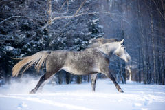 Grey horse in winter forest royalty free stock photos