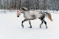 Grey horse on winter glade. Royalty Free Stock Photography
