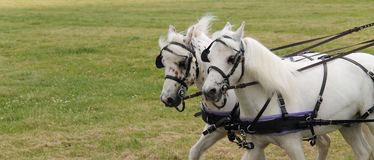 Grey Horses. Royalty Free Stock Images