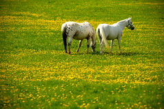 grey horses on flower meadow Stock Image