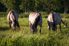 Grey  horses Stock Photography