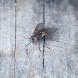Grey House Fly Royalty Free Stock Photography