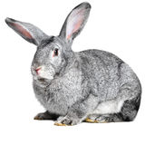 Grey house rabbit Stock Photo
