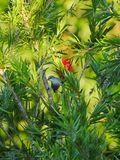 Grey Hummingbird perched on bamboo like tree branch Royalty Free Stock Image
