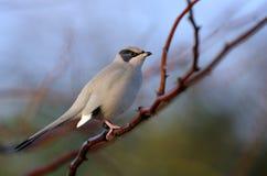 Grey Hypocolius perched on acacia tree Royalty Free Stock Images