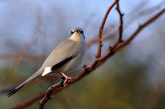 Grey Hypocolius perched on acacia tree Stock Photo