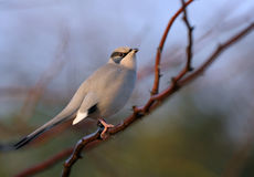 Grey Hypocolius perched on acacia tree Royalty Free Stock Photo