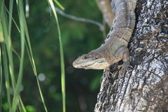 Grey iguana. Crawling on a tree upside down Stock Photo
