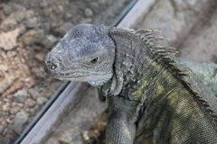 Grey iguana looks at the photographer. Of the wild Stock Images