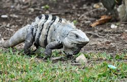 Iguana in Mexico. Grey Iguana on the move Stock Photos