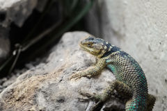 Grey iguana Royalty Free Stock Photography