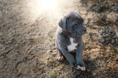 Grey Italian Mastiff puppy. Cane Corso stock images