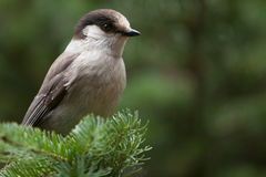 Grey jay. A Grey jay is perching on a branch (Canada jay, Whiskey Jack Stock Image